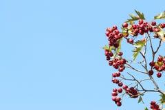 Fruit rouge sauvage d'aubépine sur le fond bleu de l'automne bleu de skyin photos stock