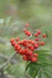 Fruit of rowan or mountain-ash Royalty Free Stock Images