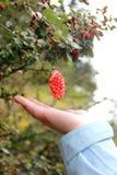 Fruit sauvage Photo libre de droits