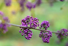 Fruit sauvage - Callicarpa americana Photo libre de droits