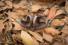 Fruit shell. Two fruit shell heart shape on Leaf pile in the garden Royalty Free Stock Photos