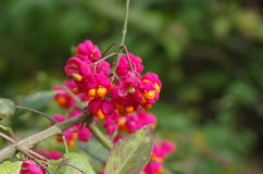 Fruit shrub  euonymus europaeus Stock Images