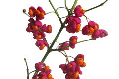 Fruit shrub  euonymus europaeus Royalty Free Stock Photo