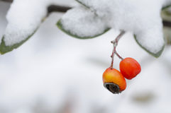 Fruit,snow,forest. Fruit with snow in the forest Royalty Free Stock Images