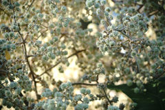 Fruit stands Tetrapanax tree. The white flowers, fruit stands and buds of the Tetrapanax royalty free stock photos