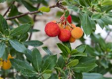 The fruit of a strawberry tree, Arbutus Unedo, in southern Italy. Pictured is a closeup view of the fruit of Arbutus unedo.  Arbutus unedo commonly known as the Stock Photo