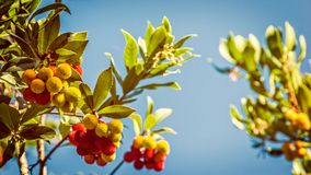 Fruit of the strawberry tree. Between the leaves in the blue sky, vintage effect with blurry stock photos