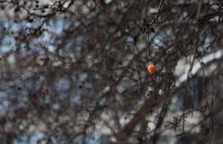 Fruit sur l'arbre dans l'horaire d'hiver Photographie stock