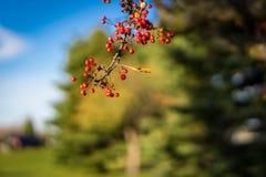 Fruit sur la branche d'un arbre de pomme sauvage Photo libre de droits