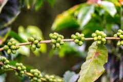 Fruit sur une usine de café Photographie stock libre de droits