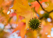 Fruit of the Sweet Gum tree Stock Photography