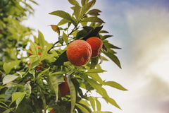 The fruit of the tangerine on the branch Stock Photos