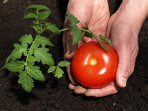 Fruit of tomato Royalty Free Stock Images