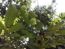 Fruit très jeune de ramboutan il font le bel art photographie stock libre de droits
