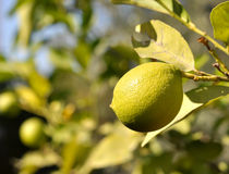 Fruit on a tree 0036. A lemon fruit hangs from its lemon tree with a blurred background of lemon trees that signify the subject Stock Photos