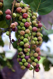 Fruit of the tree. Grape-like blossoms on a tropical tree. Small colored balls of green, red and yellow Stock Image