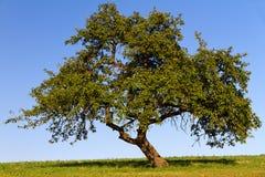 Fruit tree. With cloudless sky in Pfalz, Germany Stock Photo