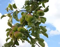 Fruit Tree. Some Apples Ready for Picking on a Fruit Tree Royalty Free Stock Images