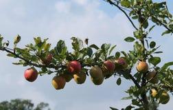 Fruit Tree. Royalty Free Stock Photo