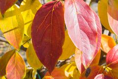 Tree with autumn leaves. Fruit tree with autumn leaves, fall, background, season, yellow, leaf, nature, beautiful, natural, orange, park, foliage, texture, red royalty free stock photo