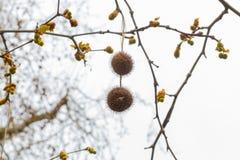 Fruit on a tree in Bath platanus orientalis stock photography