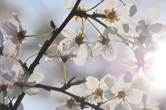 Fruit tree in bloom. Stock Image
