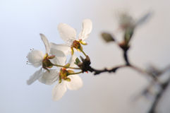 Fruit tree in bloom. Royalty Free Stock Image