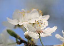 Fruit tree in bloom. Royalty Free Stock Photos