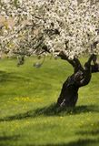 Fruit tree in bloom. Blossoming tree in peaceful meadow Royalty Free Stock Image