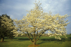 Fruit tree in bloom, James River Plantation, Jamestown, VA Stock Image