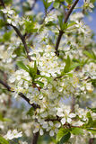 Fruit tree blossom Stock Image