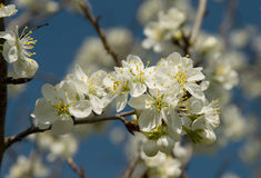 Fruit Tree Blossom. Against blue sky background stock images