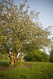 Fruit tree with blossom Stock Image