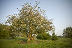 Fruit tree with blossom Stock Images