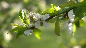 Fruit tree blossom blown by the wind. Cherry tree twig with blossom. Beautiful white cherry tree flowers and green leaves blown by breeze in spring. Cerasus stock footage