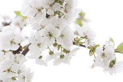 Fruit tree blossom close-up. Royalty Free Stock Photo
