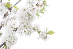 Fruit tree blossom close-up. Stock Image