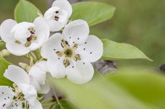 Fruit tree blossom close-up. Royalty Free Stock Photos
