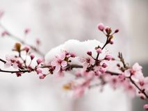 Free Fruit Tree Blossom Covered With Snow Stock Photography - 113064642