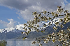 Fruit tree blossom in Norway Stock Photography