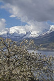 Fruit tree blossom in Norway Stock Images