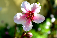 Fruit tree blossom.. Peach, Nectarine. Blossoms are the flowers of stone fruit Bush genus Prunus and of some other plants with a similar appearance that flower Royalty Free Stock Images