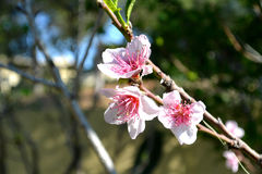 Fruit tree blossom.. Peach, Nectarine. Blossoms are the flowers of stone fruit Bush genus Prunus and of some other plants with a similar appearance that flower Royalty Free Stock Photos