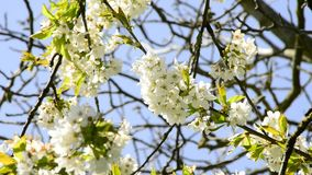 Fruit tree with blossom. In spring stock video