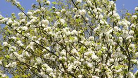 Fruit tree with blossom. In spring stock video footage