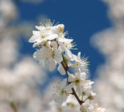 Fruit tree blossoms Stock Images
