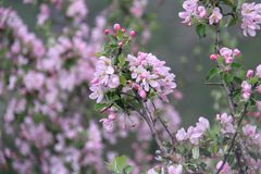 Fruit tree blossoms. Beginning of spring. Apple tree blossoms. Raceme of apple tree. Blossom blooming royalty free stock images