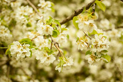 Fruit tree blossoms. Blooming tree spring background. Fruit tree blossoms. Spring beginning background. Bokeh. Toned photo. Selective focus and shallow depth of Stock Image