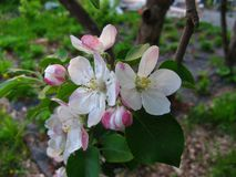 Blossoming apple tree flowers with green leaves royalty free stock images