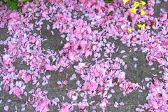 fruit tree blossoms (pink snow) Stock Images